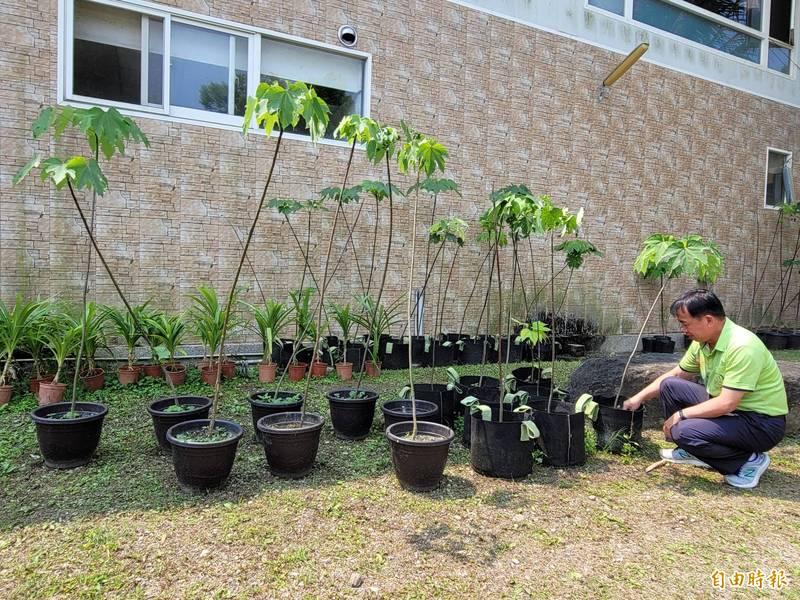 為營造桐花美景,牛耳藝術渡假村也收休油桐樹果實裡的種子,自行培育樹苗,陸續移植於園區內。(記者佟振國攝)