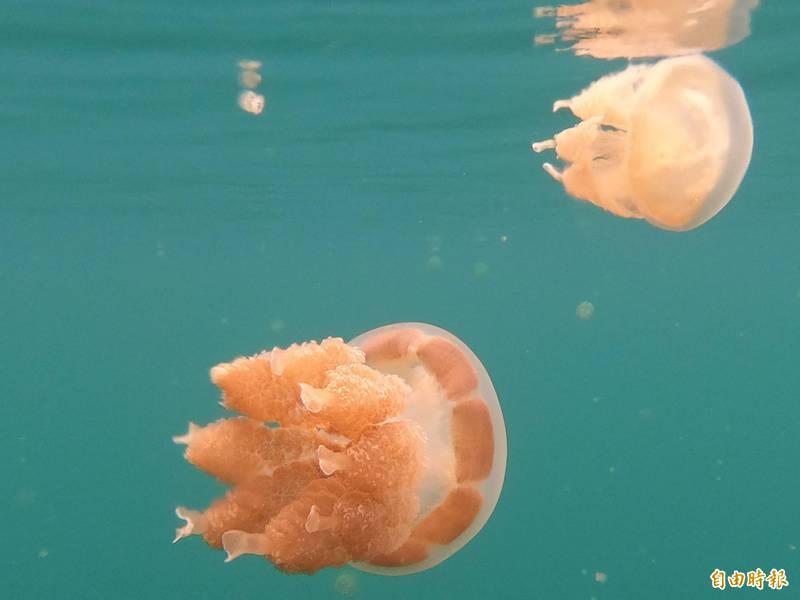 旅客在水母湖浮潛,可與成千上萬的水母一起悠遊。(記者蕭玗欣攝)