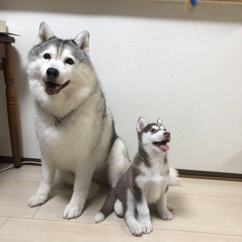8歲的狗姐姐西爾維亞(右)與8個月大的狗弟弟尚特(左)的合照,姐姐萌翻燦笑讓網友盛讚「超凍齡」。(圖翻攝自xxhama2個人推特)