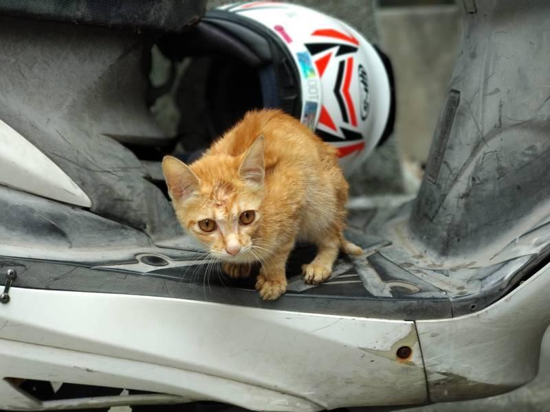 小橘貓待在機車踏板上,巧遇動保員伸手救援。(動保處提供)