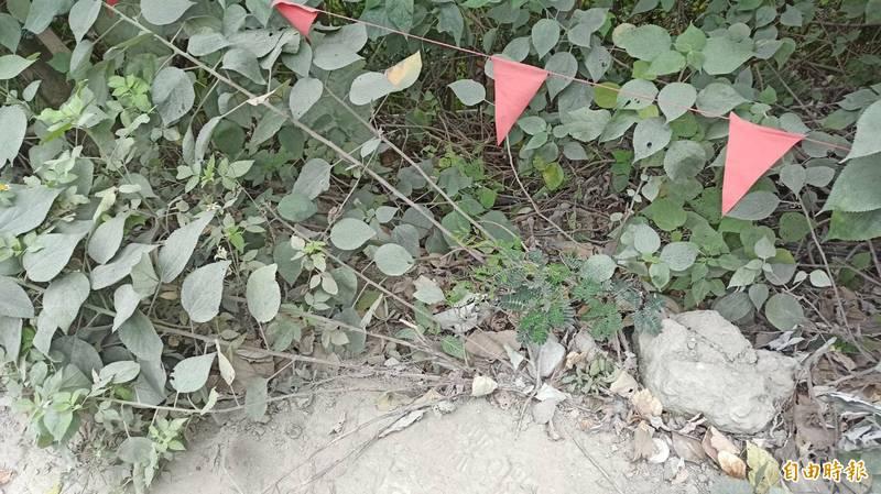 目前外界懷疑義祥工業社老闆李義祥當天是因工程車轉彎不慎前輪卡在這樹叢中,李嘗試用怪手拉車過程中不慎讓車翻落到台鐵軌道釀禍。(記者王錦義攝)