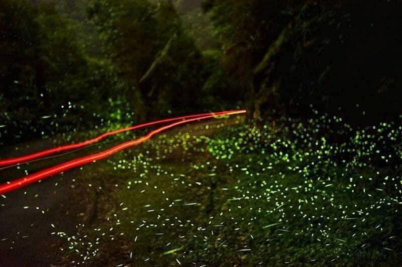 新北市平溪紫東社區螢火蟲季將起跑,可欣賞到螢光美景。(王碧嬌攝)