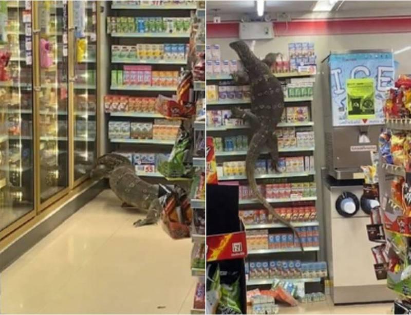 一隻近2公尺長的澤巨蜥爬進便利商店,所有人都被嚇得不敢動彈。(圖取自推特)