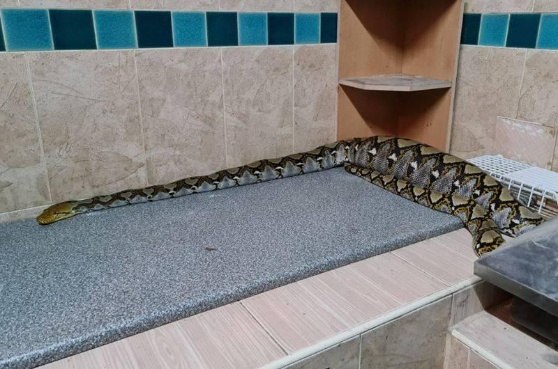 廚房有隻蟒蛇匍匐流理台且肚子「明顯隆起」。(圖擷取自「Kanchi Nard」臉書)