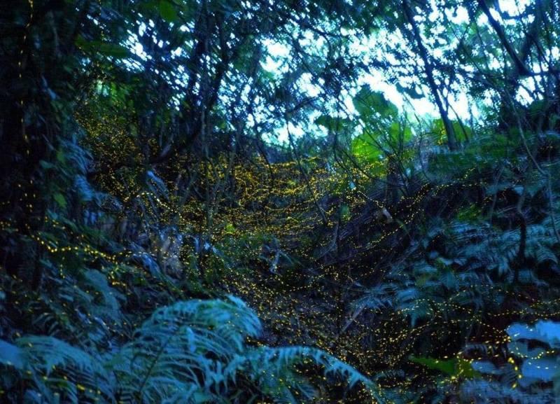 小礁溪進入螢火蟲季。(礁溪鄉公所提供)