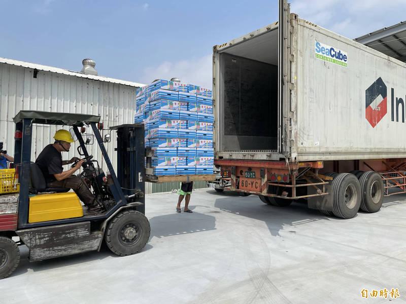 台南鳳梨進入盛產季,香港台灣工商協會也透過南雄合作社集貨場,採購10公噸鳳梨,今準備外洩輸往香港。(記者萬于甄攝)