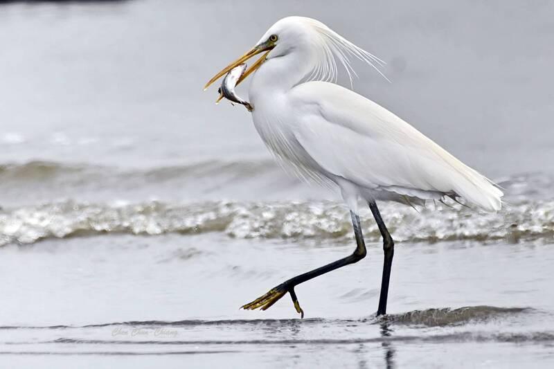 高屏溪口乾涸浮出大片灘地 國際級保育鳥紛停駐