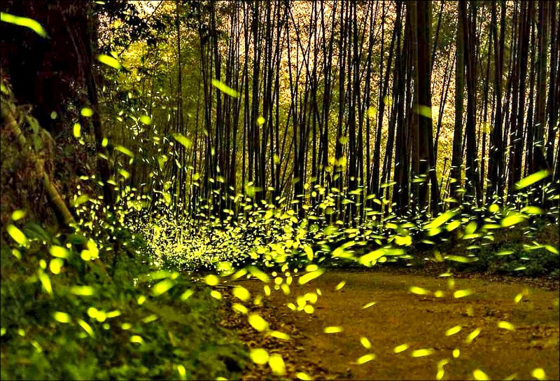 南投鹿谷鄉進入螢火蟲季,晚間可見螢火蟲綻放點點螢光。(鹿谷鄉旅遊導覽解說協會提供)