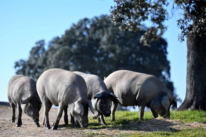 日本最新出土的證據顯示,早在7000多年以前的史前時代,沖繩本島就已存在大量馴化家豬,被認為是日本最古老的家豬殘骸。(法新社)