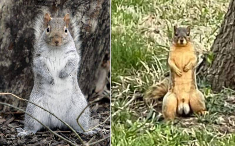 近日美國一隻松鼠意外地爆紅,不只因為牠擁有傲人的六塊肌,而是其「睪丸」的尺寸更是大的驚人,照片被網友PO在網路上後,引發網友和媒體熱烈討論。左為一般松鼠,右為爆紅的「肌肉松鼠」。(本報合成)