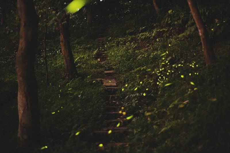 春暖花開喜迎「林間小精靈」螢火蟲,台北市政府自4月12日至5月2日舉辦螢火蟲季系列活動,包括大安森林公園內螢火蟲DIY課程及導覽解說,信義區虎山舉辦溪溝賞螢生態導覽。(台北市政府提供)
