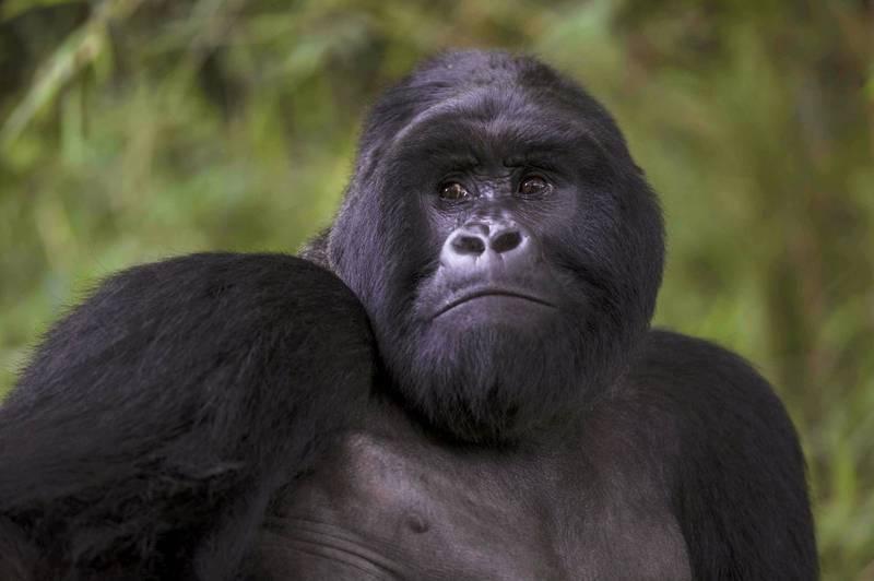 最新研究指出,大猩猩搥胸的動作可嚇阻對手前來挑戰。(路透)