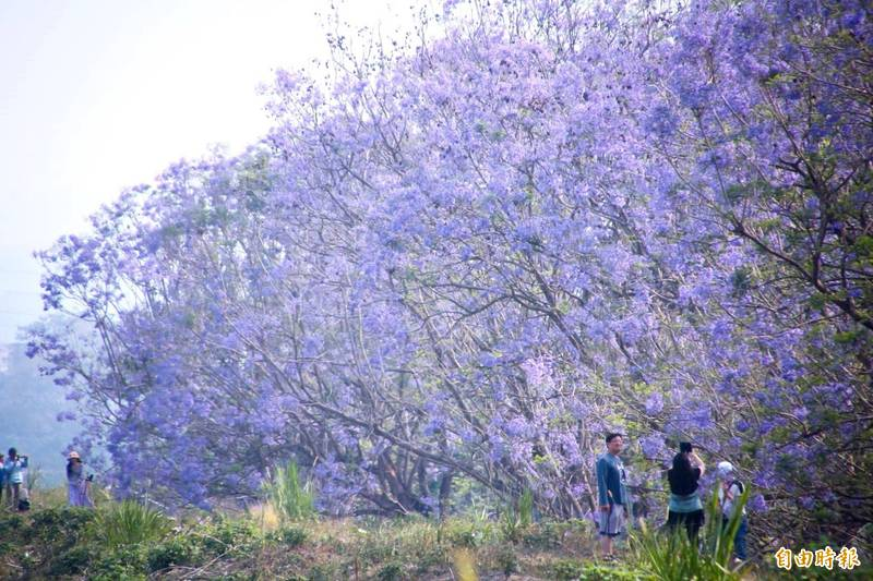 嘉義市藍花楹隧道美景。(記者林宜樟攝)