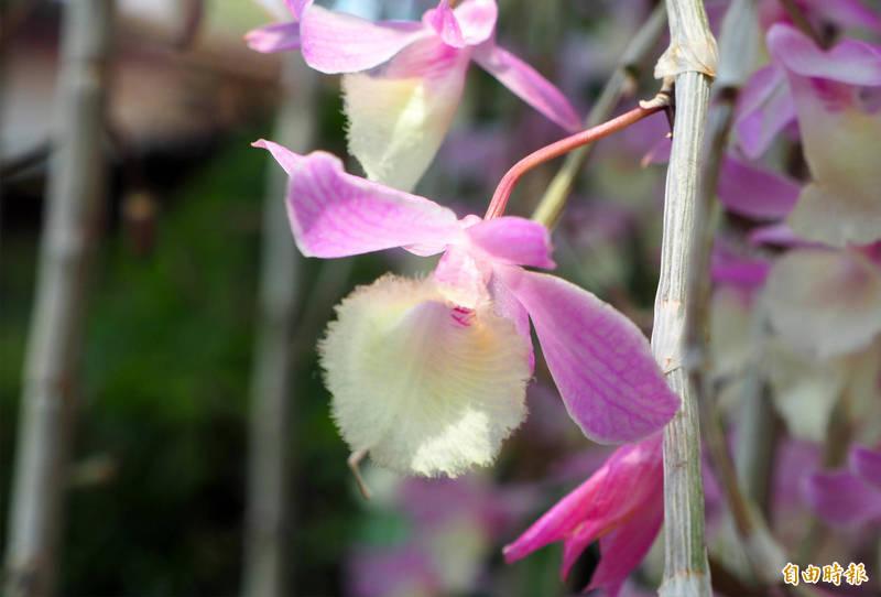 天宮石斛蘭的花朵嬌小粉嫩。(記者陳鳳麗攝)
