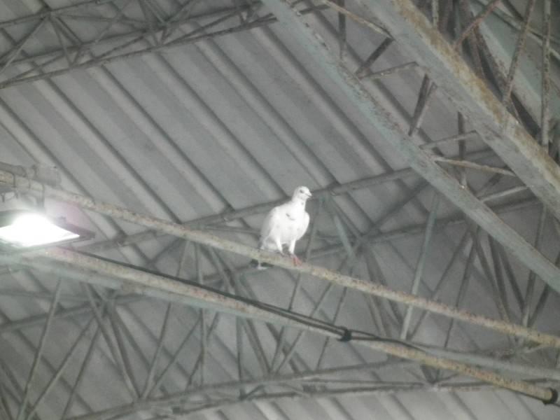 去年一隻白鴿飛進朱冠甍追思會場頂棚鋼架。(記者黃明堂翻攝)