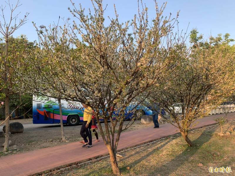 草屯鎮植物公園從早到晚都有很多民眾來散步運動,四季有不同的花開放,冬末春初開白色李花,讓民眾散步更心曠神怡。(記者陳鳳麗攝)