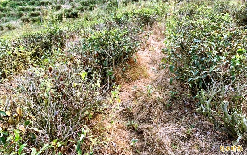 南投縣名間鄉部分茶園茶樹因久旱少雨出現枯萎情形。(資料照,記者謝介裕攝)