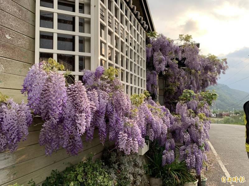 台中梨山處處紫藤盛開,吸引民眾上山賞花。(記者唐在馨攝)