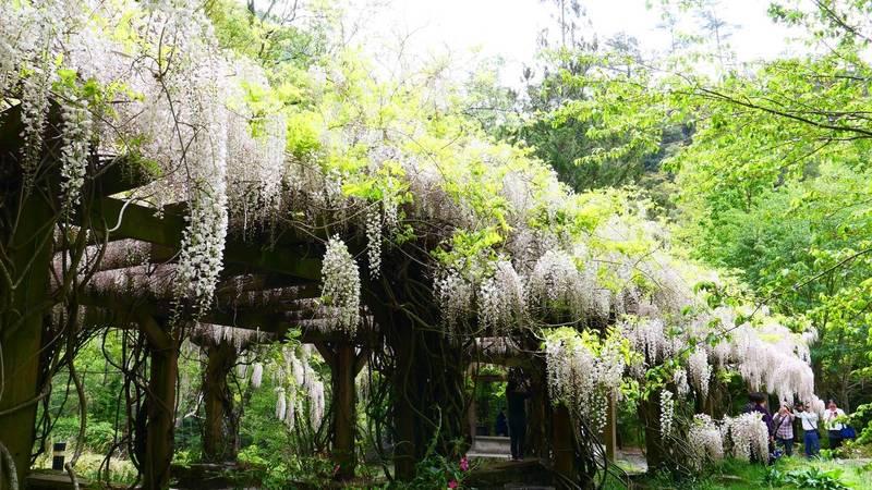 武陵農場白藤花開,宛如白色瀑布,香氣郁人。(武陵農場提供)