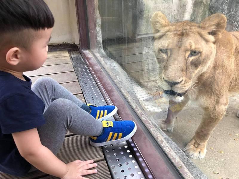 高市議員爭取為壽山動物園引進長頸鹿。(壽山動物園提供)