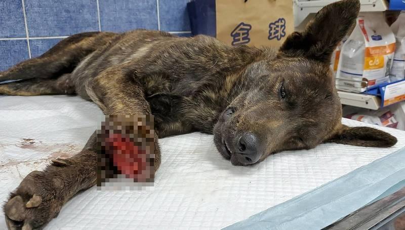 高雄流浪狗遭斷掌送醫搶救。(台灣動物緊急救援小組)