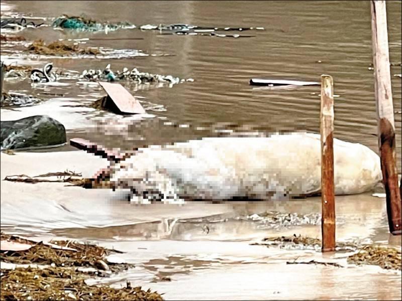 新北市萬里區龜吼平台岸邊日前發現死豬,經檢驗確認感染非洲豬瘟。(資料照)