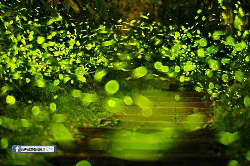 大阿里山地區賞螢區有數十處之多,是台灣螢火蟲寶庫。(黃源明提供)