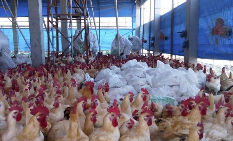 中國遼寧省瀋陽市爆發H5N6禽流感疫情。示意圖。(歐新社)