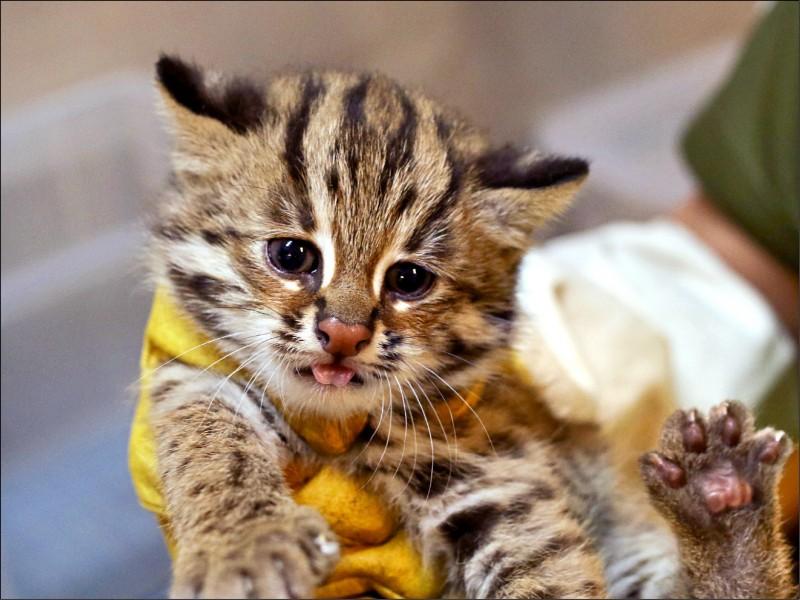 石虎小妹重約651公克、名叫「貓控」。(圖:台北市立動物園提供)