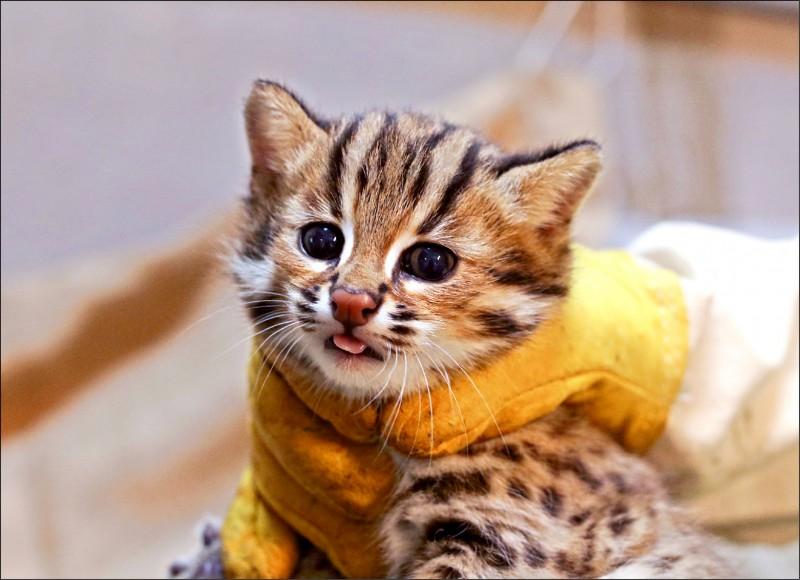 石虎二哥重約711公克、叫「貓攬」。(圖:台北市立動物園提供)