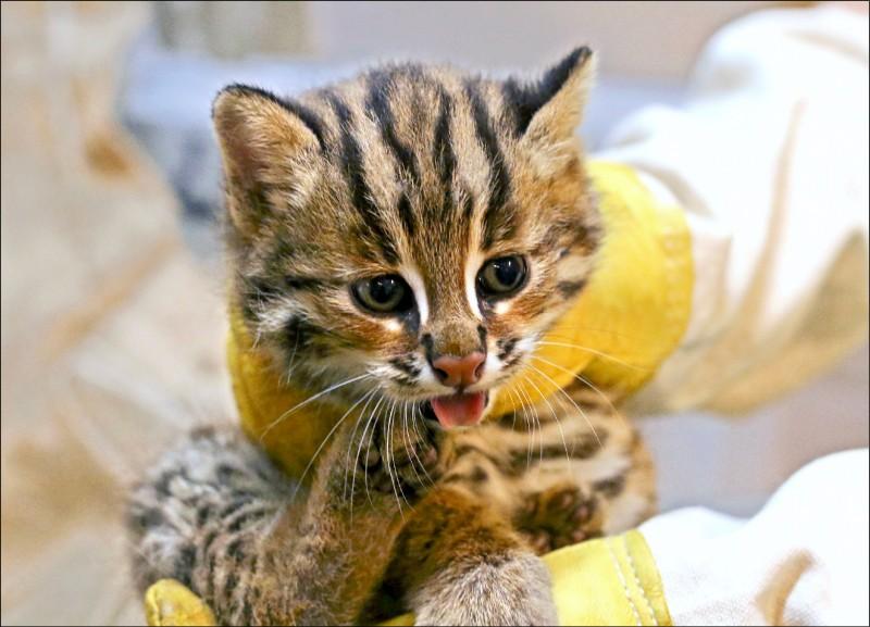 石虎大哥「貓雄」重約699公克。(圖:台北市立動物園提供)
