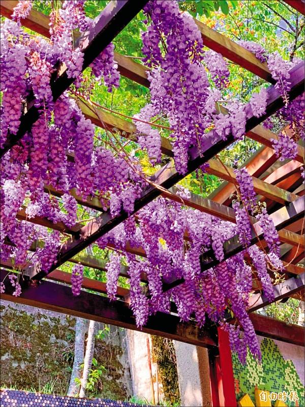 台中大梨山地區近年種植紫藤有成,交通部觀光局參山國家風景區管理處表示,不少果農響應栽種,甚至買花苗來種植。(記者唐在馨攝)