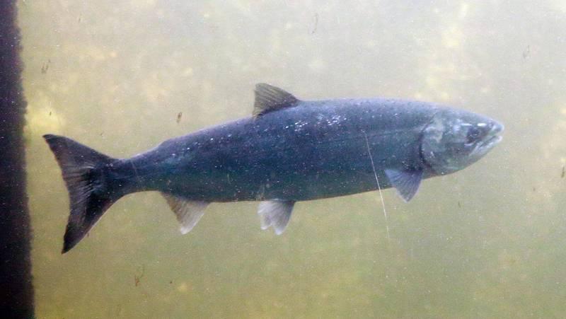 專家警告,若日本將核污水排入海洋,太平洋內有6種鮭魚將受到污染。(路透檔案照)