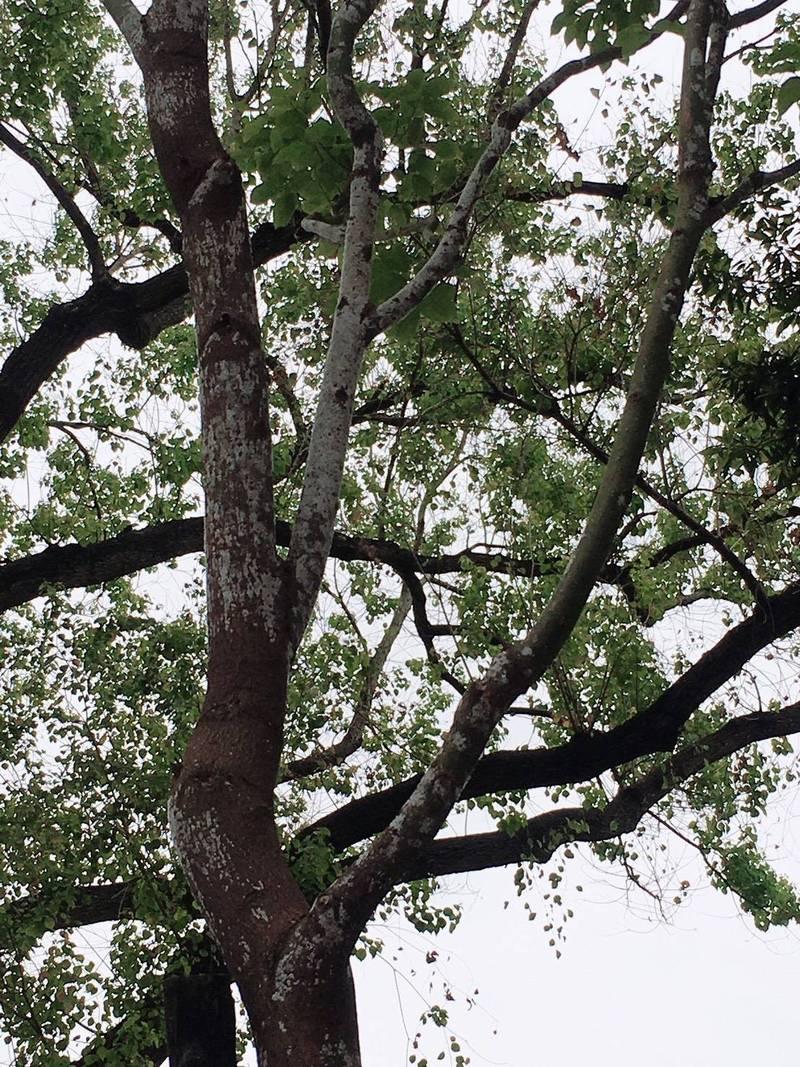 雙連站至民權西路站間帶狀公園有12株樟樹受介殼蟲感染。(台北市議員陳怡君提供)