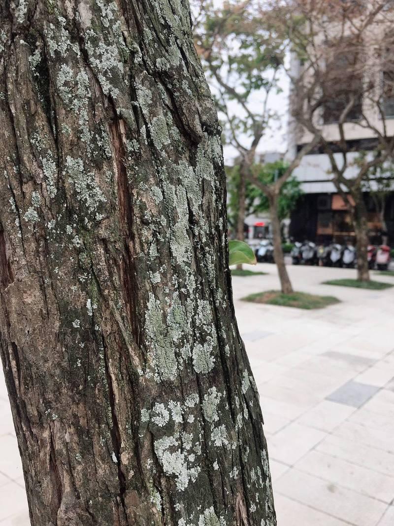 樟樹樹幹被感染後出現白色斑點。(台北市議員陳怡君提供)