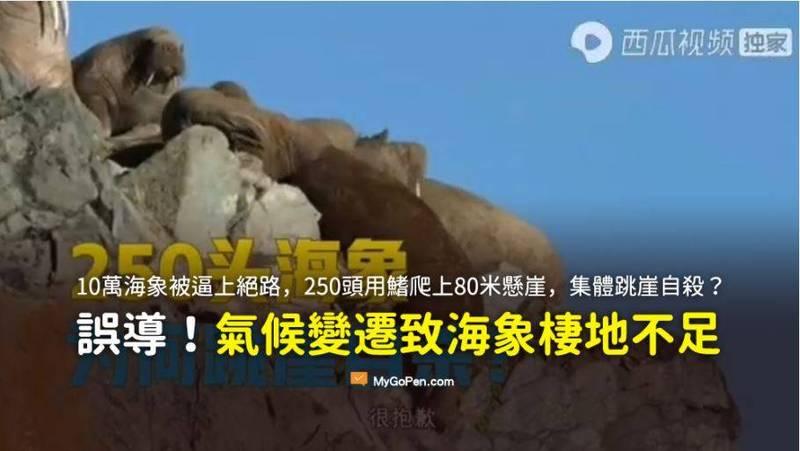 近日網傳「10萬海象被逼上絕路,250頭用鰭爬上80米懸崖,集體跳崖自殺」的影片,但經MyGoPen蒐證後發現海象為不慎墜落,並非自殺。(圖截自「MyGoPen事實查核平台」)