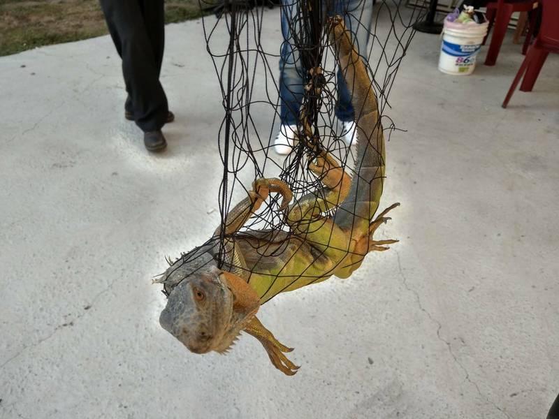 鳳山區南成里長楊居財幫里民捕捉綠鬣蜥。(民眾提供)