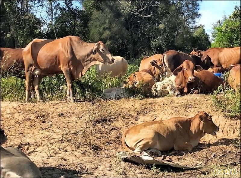 台灣本島北部牧場疑似爆發牛節節疹疫情,農委會今晚7點30分將舉行緊急記者會說明。示意圖,圖為金門牛隻。(資料照)
