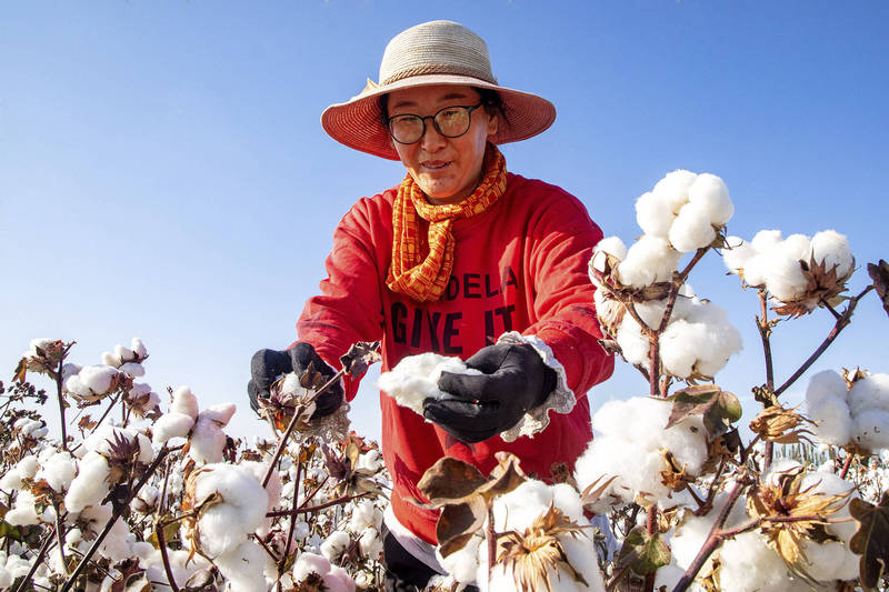 新疆棉花因強迫勞動議題引發國際論戰。示意圖。(美聯社)