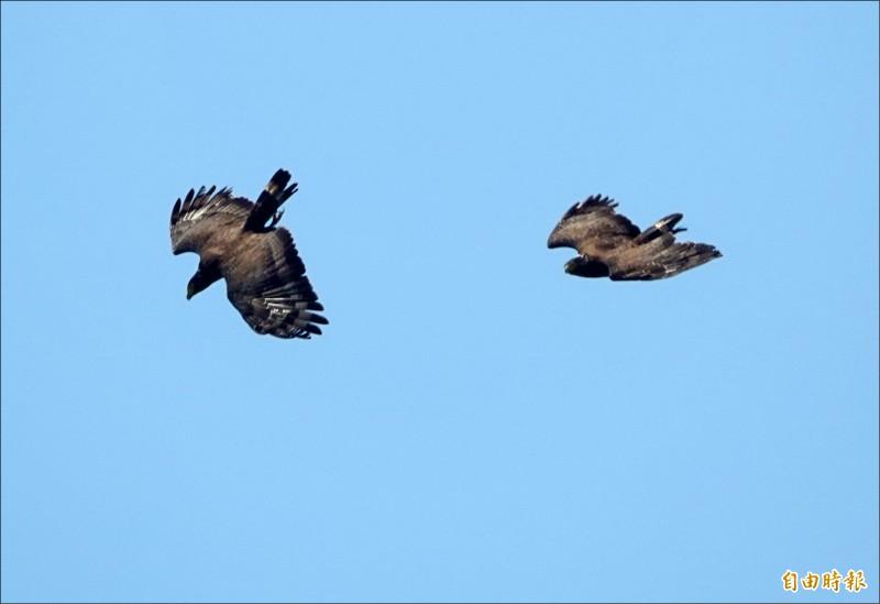 大冠鷲求偶過程動作粗爆,過程相當驚險。(記者游太郎攝)