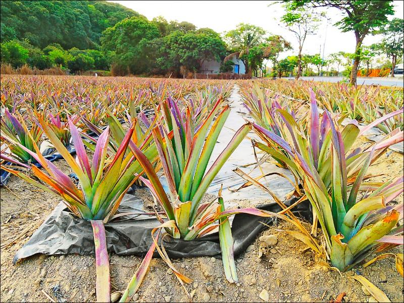台農17號金鑽鳳梨因過去沒有申請品種權,導致中國利誘台灣農民前往氣候條件接近的廣東、福建、海南等種植。(資料照)