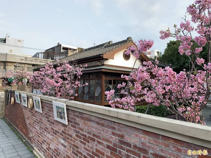 清水國小日式宿舍櫻花綻放。(記者張軒哲攝)