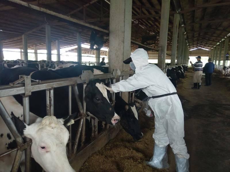 防止牛結節疹,桃市動保處16日起為全市5800頭乳肉牛施打疫苗。(記者鄭淑婷翻攝)