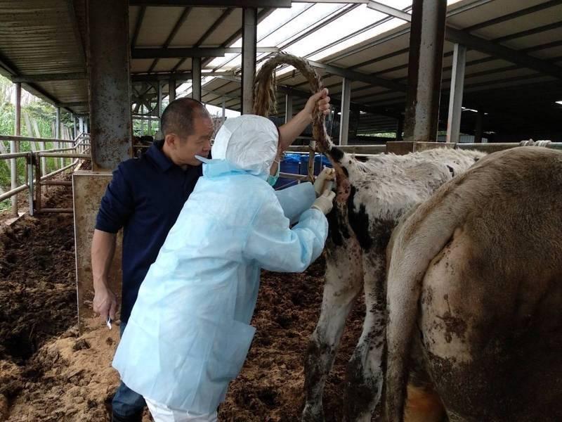 今日新北境內所有牛隻已完成疫苗接種。(新北市政府提供)