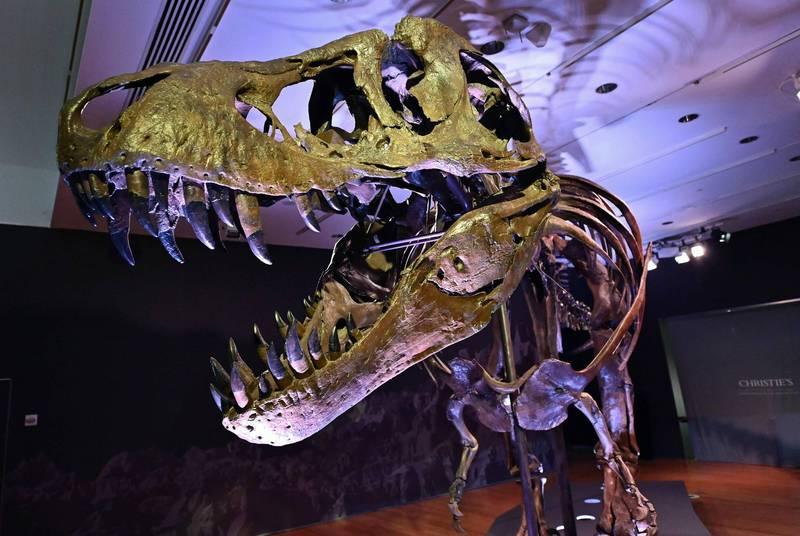 值得注意的是,這份研究讓科學家進一步體悟化石的稀有程度,每8000萬隻霸王龍中,只有1隻最終形成化石而留存至今,比率之低遠遠低於人們想像。(法新社)