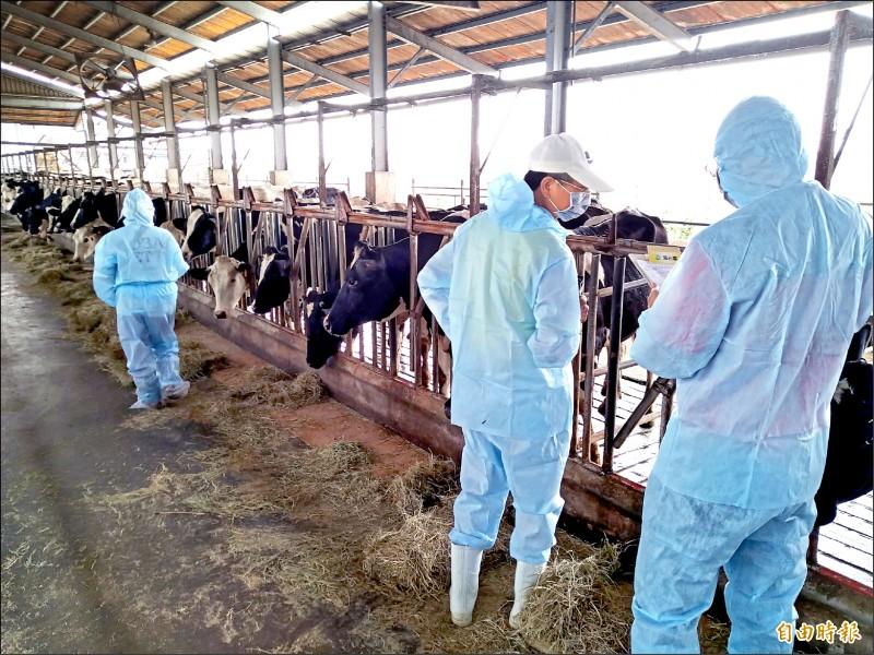 縣府農業處進行畜牧場牛隻健康情形檢查。(記者陳彥廷攝)