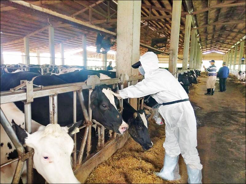 防範牛結節疹,動保處16日起為全市5800頭乳、肉牛施打疫苗。(記者鄭淑婷翻攝)