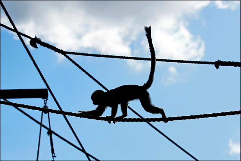 一隻松鼠猴11日在英國貝德福德郡「沃本野生動物園」內玩耍。圖僅供示意,與此報導內容無直接關聯。(路透檔案照)
