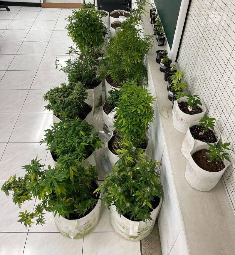警方於新北大樓查獲大麻植株。(讀者提供)