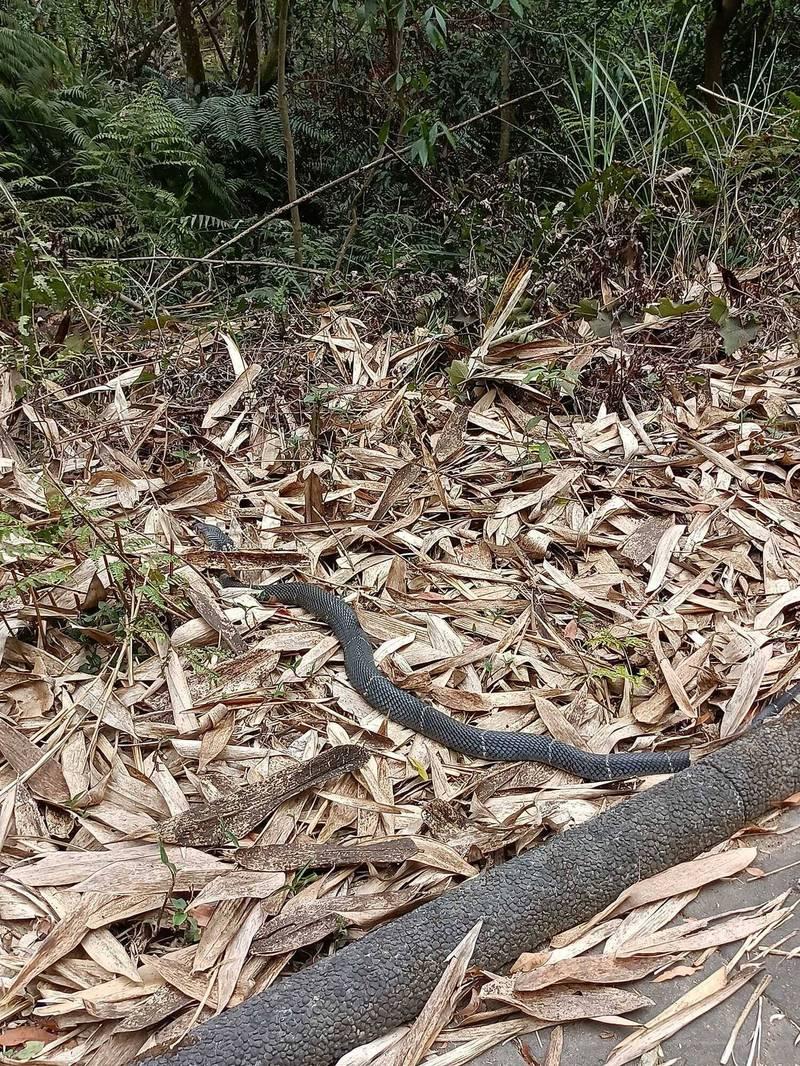 天氣漸熱,埔里鎮鯉魚潭至虎頭山登山步道蛇類出沒,民眾登山健行時驚遇又粗又長的眼鏡蛇。(何姓民眾提供)
